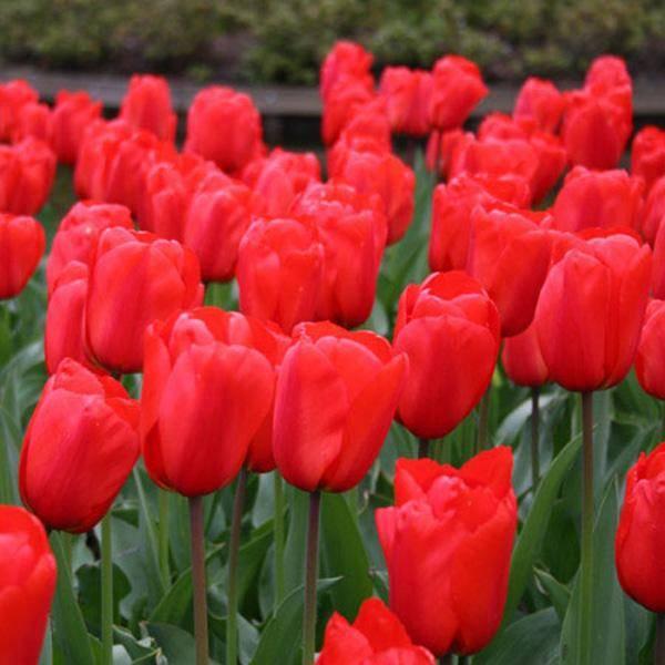 Bilde av Tulipan Apeldoorn - 10 løk