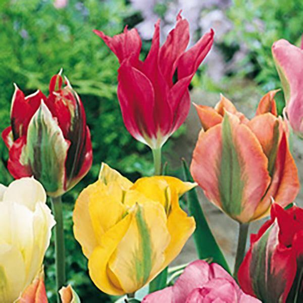 Bilde av Grønne tulipaner i blanding - 20 løk - Tilbud!
