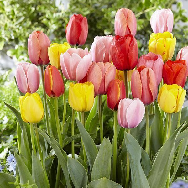 Bilde av Storblomstrende Darwin-tulipaner i mix - 20 løk