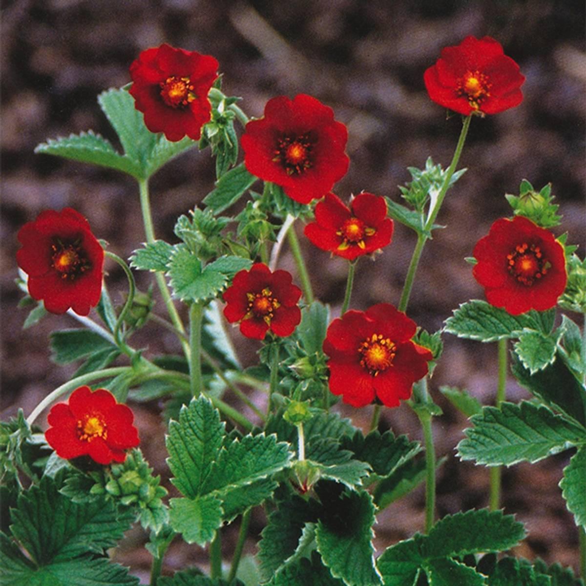 POTENTILLA* atrosanguinea var. 'Argyrophylla'. Mure