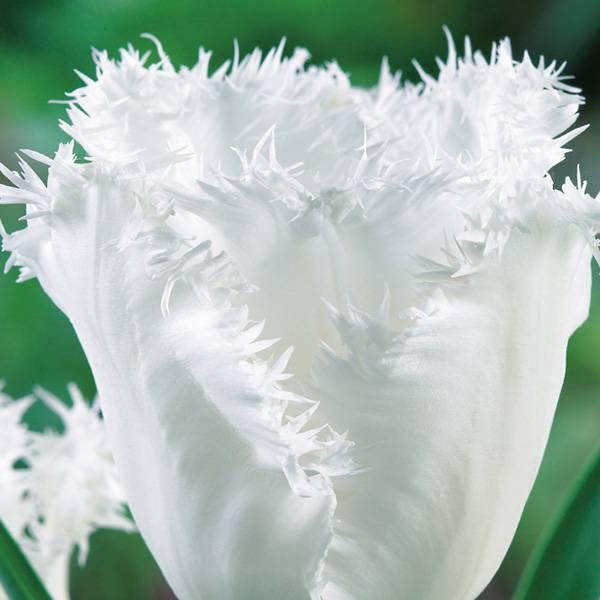 Bilde av Tulipan Honeymoon - 8 løk