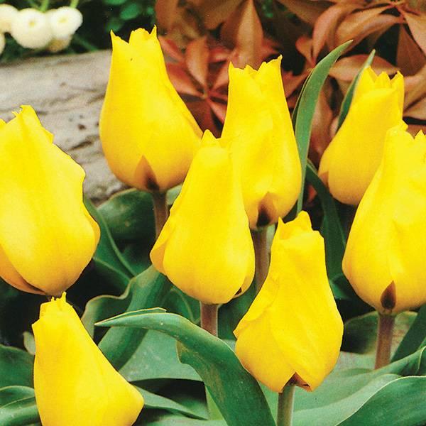 Bilde av Tulipan Gold West - 8 løk