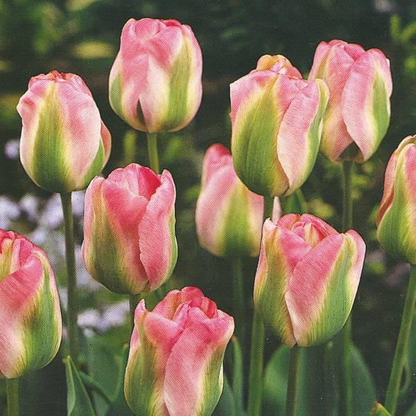 Bilde av Tulipan Groenland - 10 løk