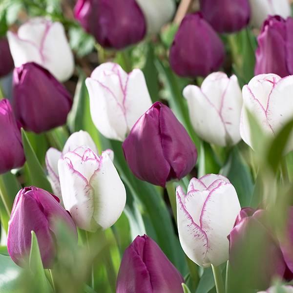 Bilde av Tulipan Negrita og Shirley - 20 løk