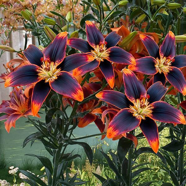 Bilde av Lilje Forever Susan – Asiatisk Bi-colour lilje –