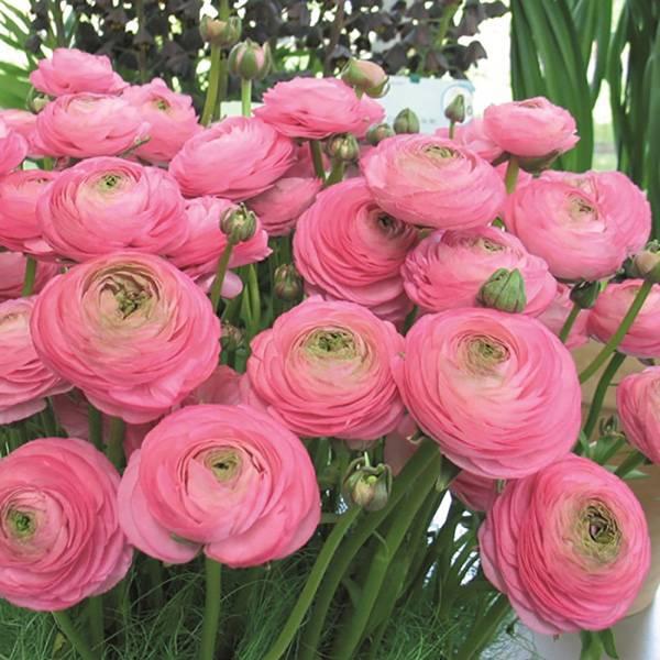 Bilde av RANUNCULUS 'Pink'. Hageranunkel.  10 stk.